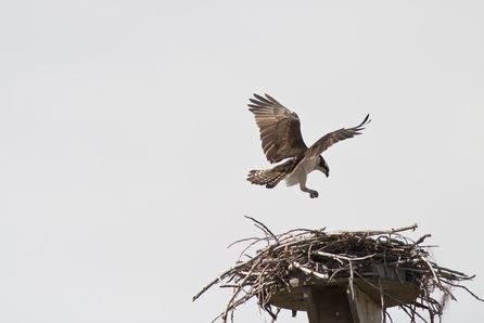 Osprey and Construction Crane